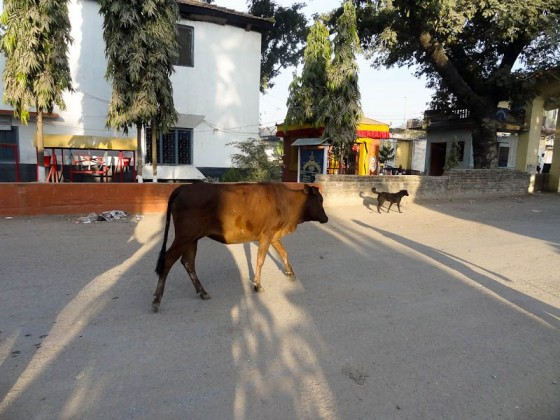 Momentarily Stateless Cow And Dog
