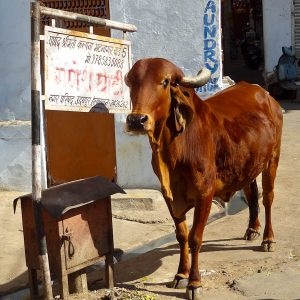 Holy Cow - Taken 11-Dec-2012 - Udaipur, India
