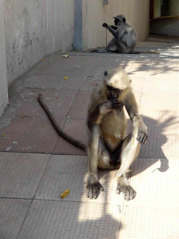 Monkey Invasion