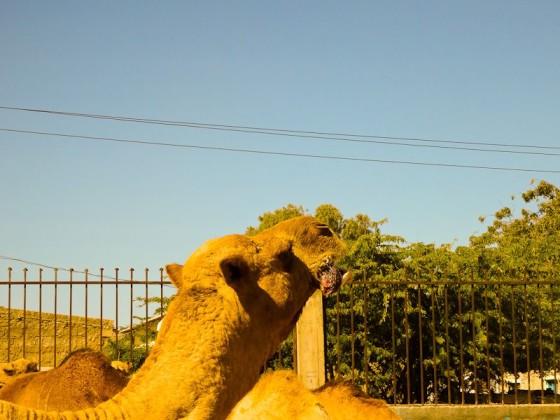 Camels - Tongue