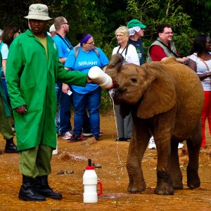 Nursing Baby Elephants Back To Health - Taken 10-Jan-2014 - Nairobi, Kenya