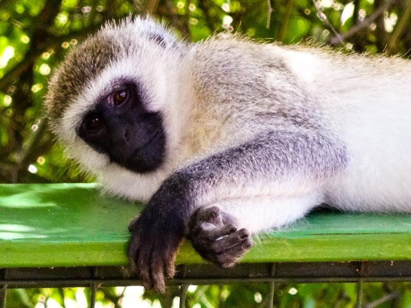 Monkey Relaxing