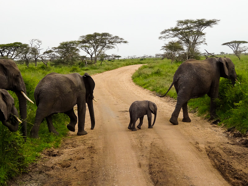 Baby Elephant And Family