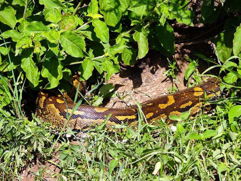 A Huge Python
