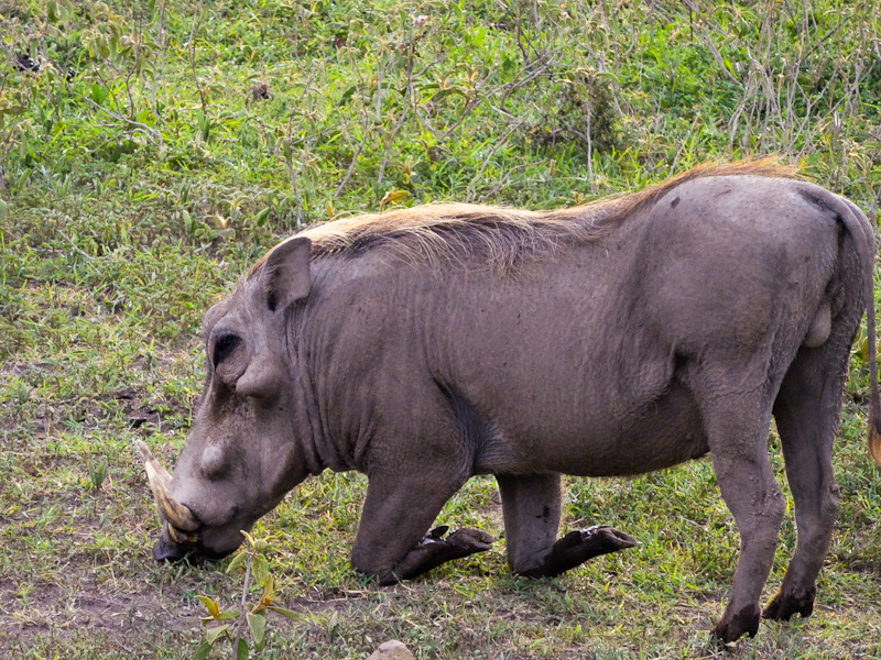 How A Warthog Eats