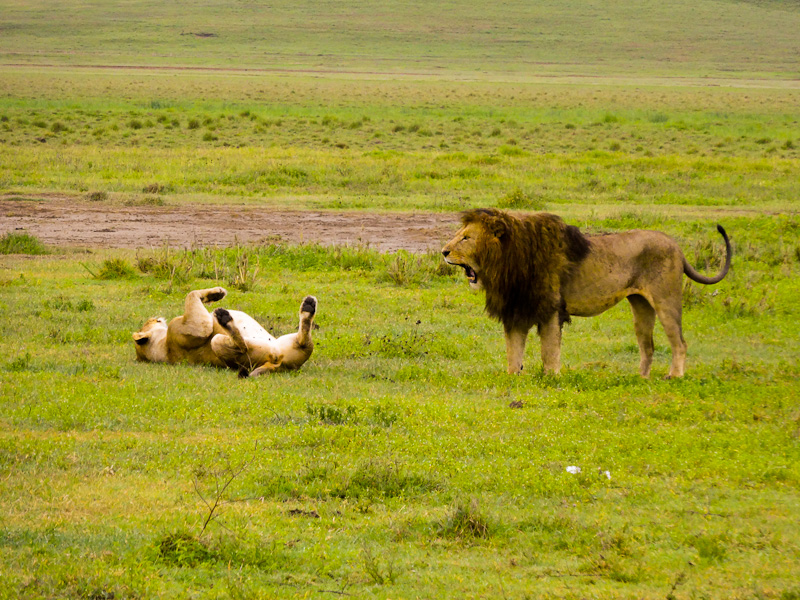 A Mating Pair Of Lions