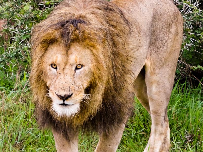 A Male Lion Approaching